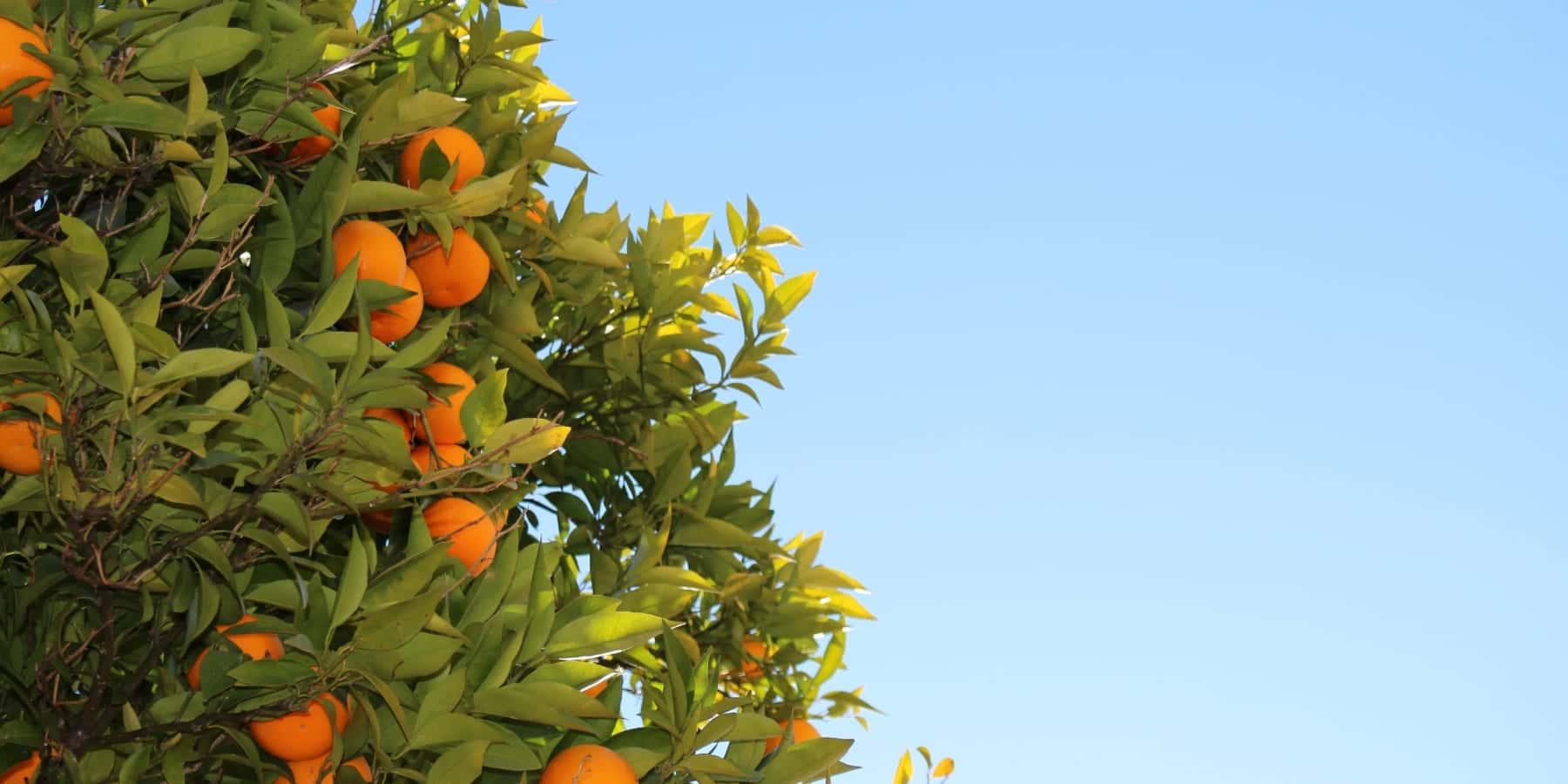 苦いオレンジをクリーンエネルギーに変える、セビリアの計画