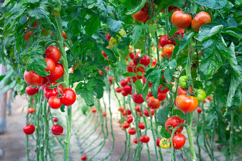 農業とテクノロジーを融合させ、砂漠の中でトマトを耕作する「Sundrop農場」