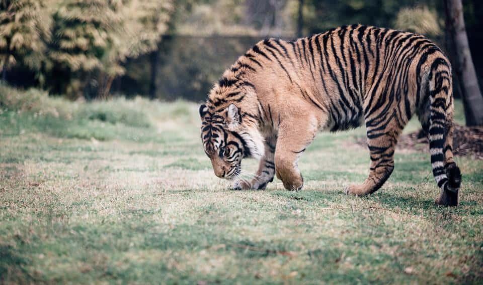 日本の裁縫業者がWWF、阪神タイガースと「虎の保護活動キャンペーン」を展開